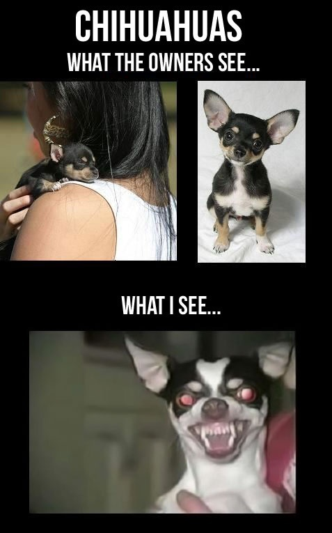 Chihuahuas, What The Owner See Vs What I See