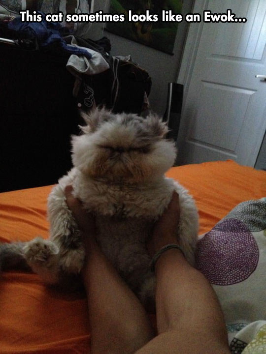 This Cat Sometimes Looks Like Ewok